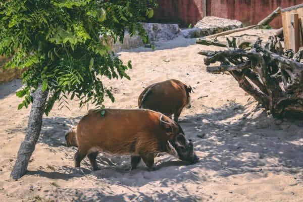 penseelzwijnen pairi daiza