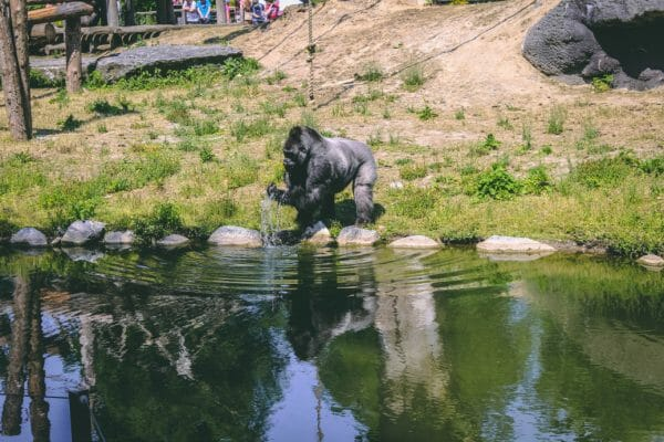 pairi daiza gorilla