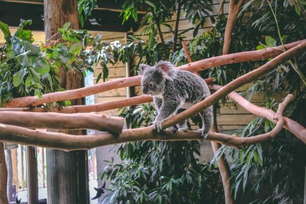 koalas pairi daiza