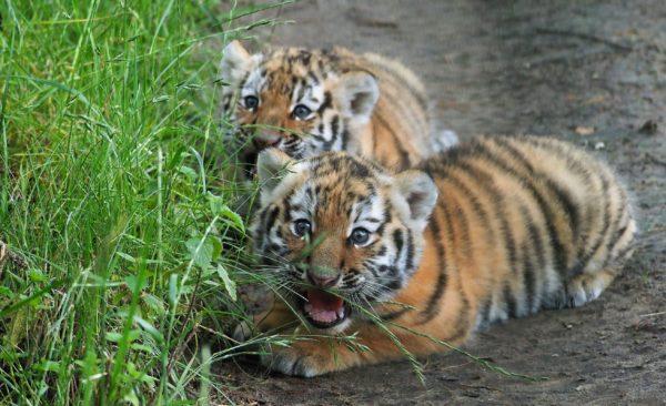 beekse bergen tijgerwelpjes
